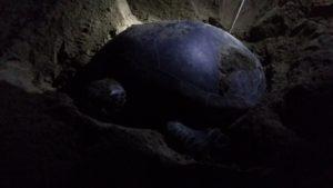 ウミガメの産卵