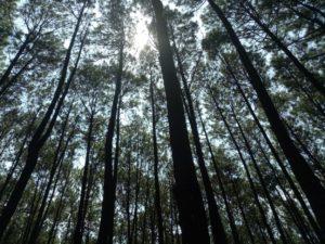 ピヌスの森